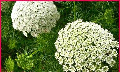 معلومات عن فوائد نبتة الخلة البلدي