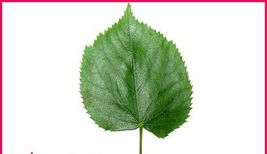 معلومات عن فوائد نبات الزيزفون