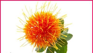 معلومات عن فوائد نبات العصفر