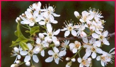 معلومات عن فوائد نبات المحلب