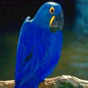 �������� ������� ������ ����� Hayacinth Macaw - ������� �� ����� ������� ������ �����