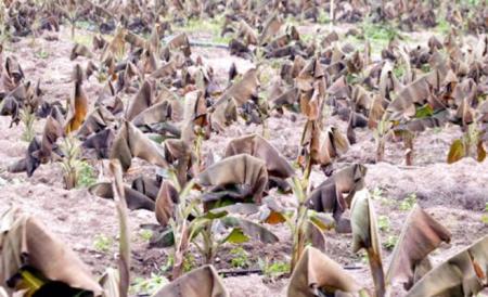 الصقيع يضرب مساحات واسعة من محاصيل الأغوار