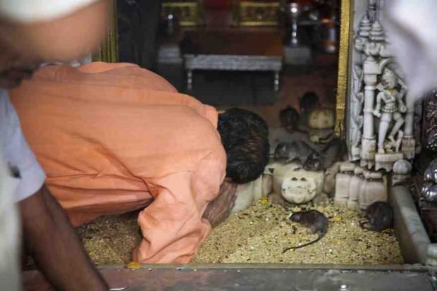 صور فئران Kabbas المقدسة , تعرف على معبد 20,000 فأر في الهند