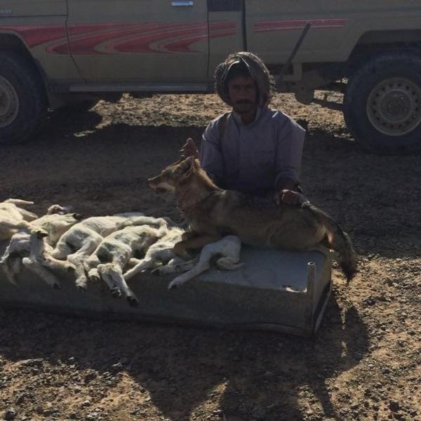 صور شاب سعودي يقتل ذئب بمنطقة القيعلية بالحرة محافظة الخرمة
