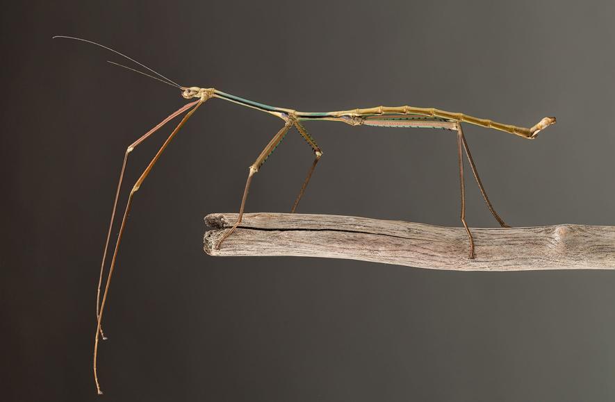 صور حشرة العصا , معلومان عن Phryganistria tamdaeoensis