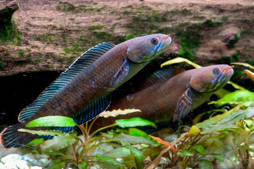 صور سمك يعيش خارج المياه ويمشي على الارض , أنواع أسماك رأس الأفعى