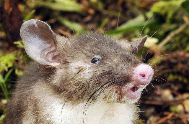 صور فأر ذو أنف خنزير , معلومات عن Hyorhinomys stuempkei