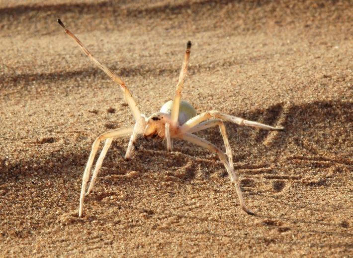 صور العنكبوت البهلواني المغربي معلومات عنه ولماذا سمي بهذا الاسم