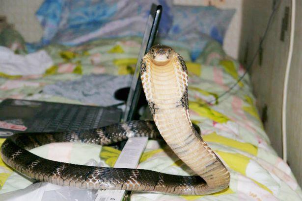 بالصور شاب محب للأفاعي يموت على يد ثعبانه المفضل كوبرا