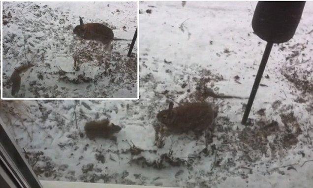 فيديو - معركة بين سنجاب وأرنب للحصول على الطعام