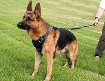 صور كلاب شرطة مخيفة , صور كلاب بوليسية متوحشة 2016