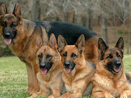 صور كلاب شرطة مخيفة , صور كلاب بوليسية متوحشة 2018