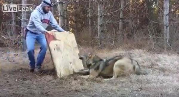 فيديو رجل يخاطر بحياته لإطلاق سراح ذئب , إنقاذ ذئب ضخم علقت قدمه في فخ