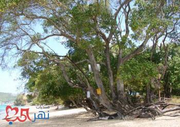 صور المنشنيل الشجرة الأخطر في العالم