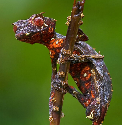 معلومات عن حيوان الوزغ الشيطاني , صور الوزغ الشيطاني