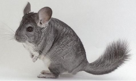 معلومات عن حيوان الشانشيلا , صور حيوان الشانشيلا