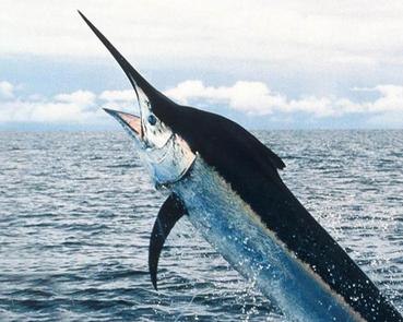 معلومات عن سمكة المارلين , صور سمك المارلين