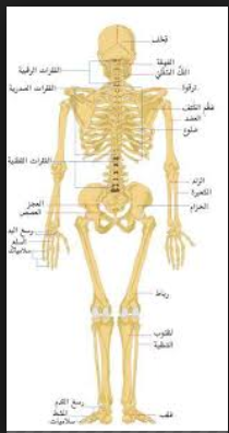 عدد عظمة في جسم الإنسان , صور لهيكل عظم الانسان