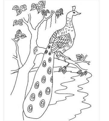 Columbus طاووس كرتون للتلوين