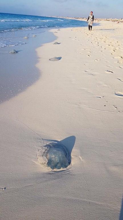 معلومات عن القنديل الرحال , تقرير عن اخطر انواع القناديل nomadic jellyfish
