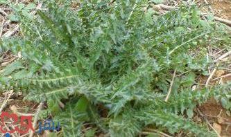 نبات شوكة النصارى , تخفيض نسبة الكوليسترول و الدهون الضارة