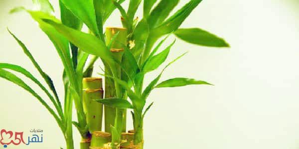 نبات عصا موسى لعلاج مرض ارتفاع ضغط الدم بالجسم