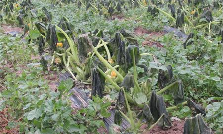 اخبار الاردن 7 ديسمبر 2015 , الصقيع يضرب محاصيل زراعية في وادي الأردن
