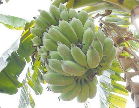 دراسة جديدة أن قشر الموز يساعد على إنقاص الوزن بشكل ممتاز