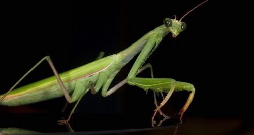 معلومات عن فرس النبي , صور فرس النبي , Mantis religiosa