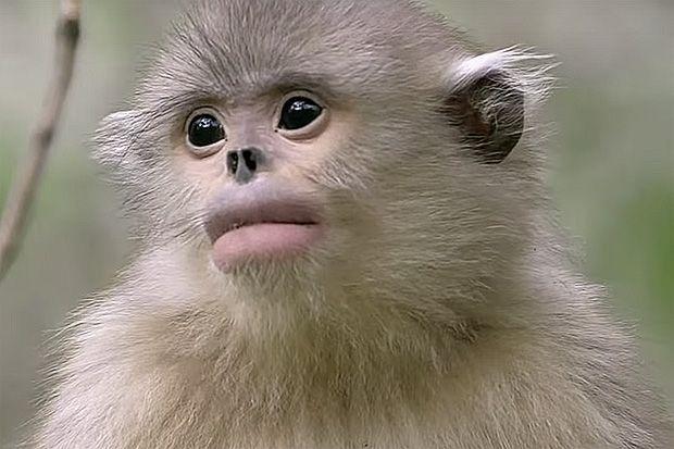 صور القرد العطاس , معلومات عن القرد العطاس