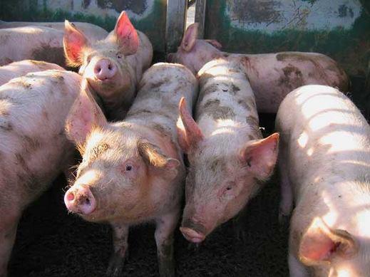 صور خنازير , معلومات عن الخنازير , Pig pictures