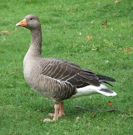 صور و معلومات عن الاوزه , الاوزة Goose