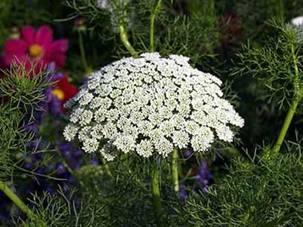 اهميه نبات الخله ، الفوائد الطبيه لنبات الخله
