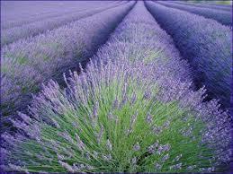 أهمية نبات الضرم ، فوائد علاجية لنبات الضرم