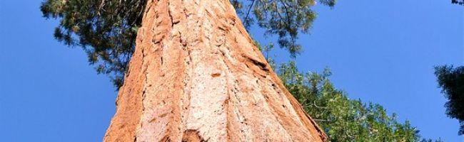 اطول شجرة في العالم
