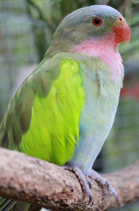 صور و معلومات عن الببغاء الأميره , الببغاء الأميرة Princess Parrot