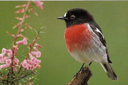 صور و معلومات عن طائر ابو الحناء الامريكى , طائر أبو الحِنّاء الأمريكي American Robin