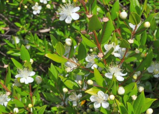 تفسير نبات الآس في المنام ميلر , رؤيا نبات الآس في الحلم لميلر