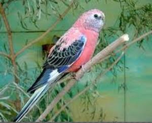 صور و معلومات عن ببغاء التركوازين , ببغاء التركوازين Turquoisine Parrot