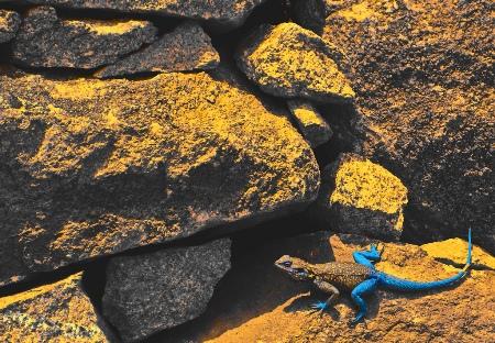 معلومات عن ادريماتا , صور سحلية ادريماتا , السحلية الازرق و الاحمر