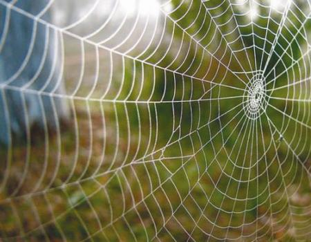 معلومات عن عنكبوت لحاء داروين قادر على نسج شبكة من البيوت