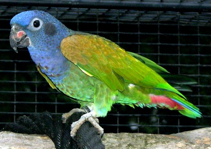 الببغــاء الأزرق الـرأس Blue headed Parrot 56844531701342384804.jpg