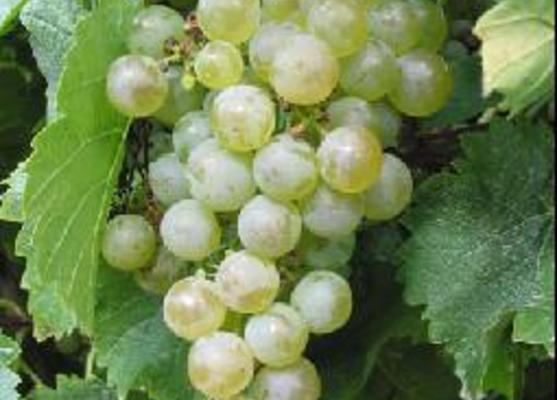 العنب مصدر غني بالألياف والسكريات