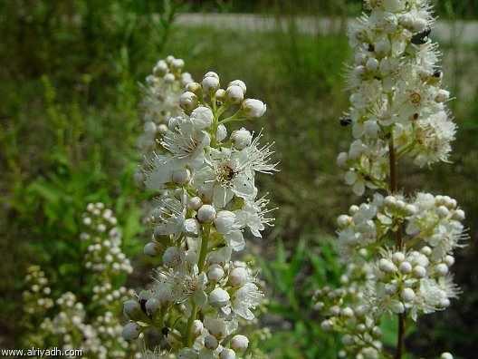 اهمية نبات الصفصاف الأبيض ، اهميه نبات الصفصاف الأبيض العلاجية