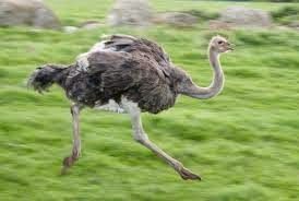 صور و معلومات عن طائر الامو , طائر الأمو Emu