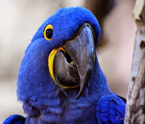 صور و معلومات عن ببغاء الجاسنت الطويل الذيل Hayacinth Macaw