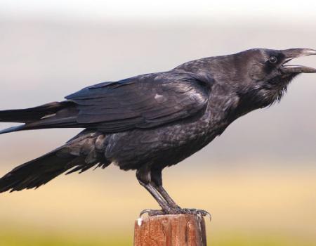 معلومات جديدة عن طائر الغراب