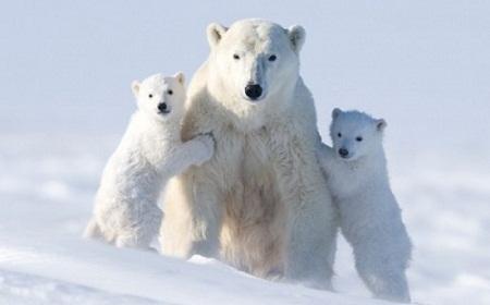صور دب الثلج القطبي , صور الدببة القطبية البيضاء