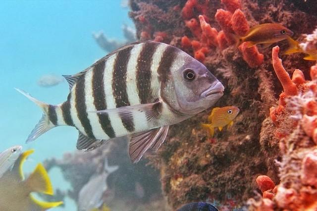 صوره من الغرائب سمكة الباكو اسنانها تشبه اسنان الانسان