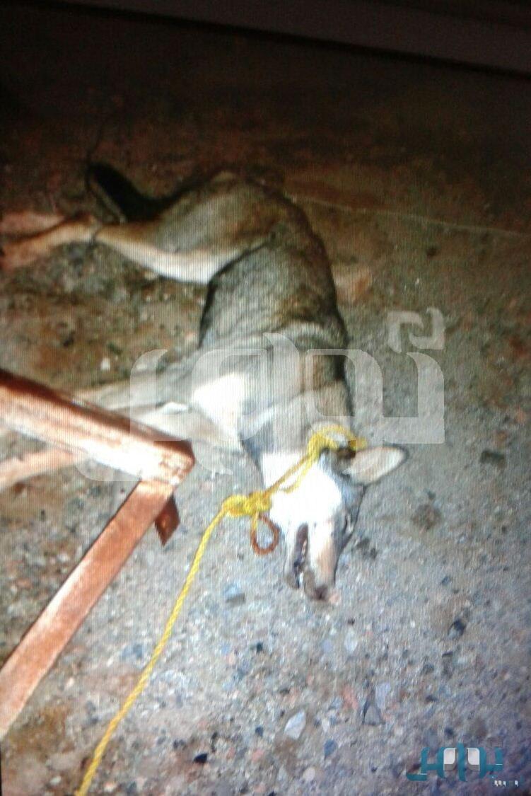 صور حارس مدرسة بئر فحيمان الابتدائية يقتل ذئبا هاجمه أثناء عمله